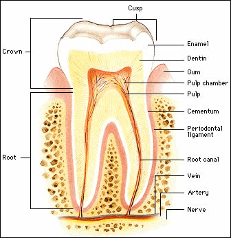 Root Canal Treatment - Everything You Need To Know | Ancells